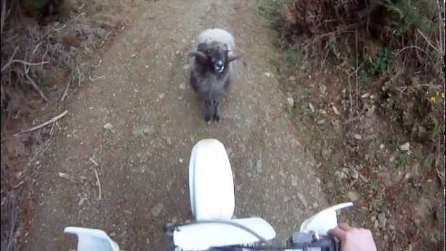Nelson Bomber: You shall not pass – Mountain ram attacks motorcyclist
